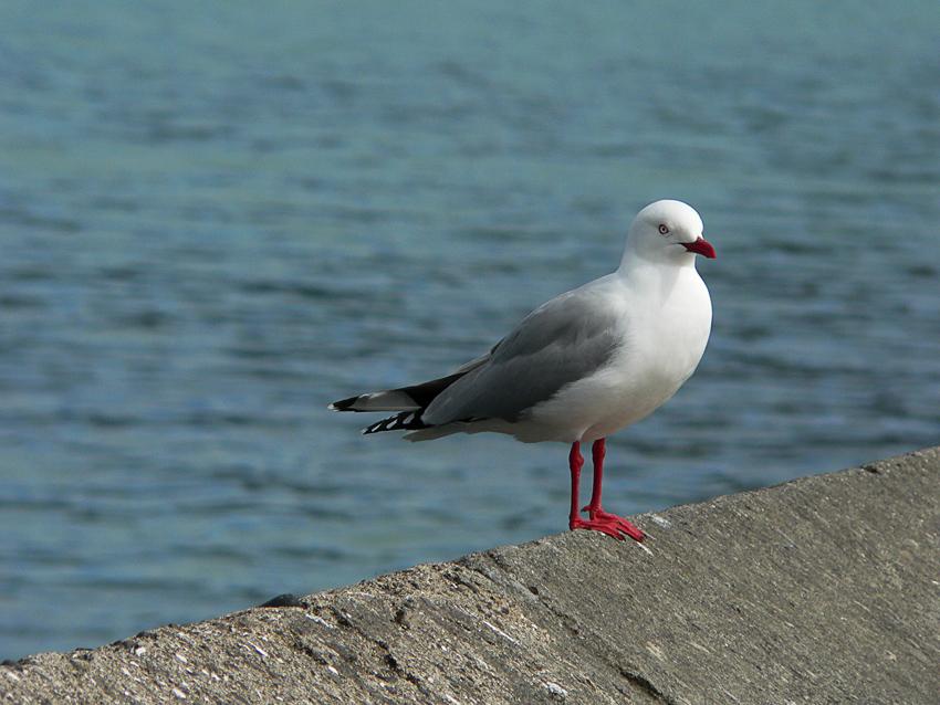 Seagull #2 – Akaroa, 2012.