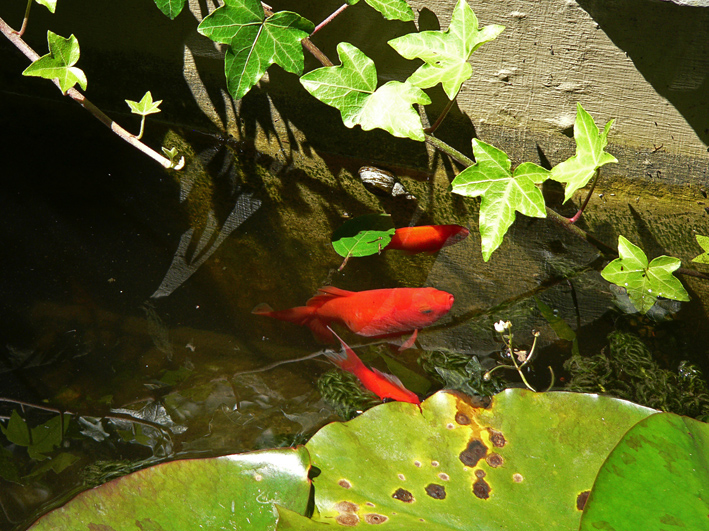 Goldfish pond, original photo, 2012.