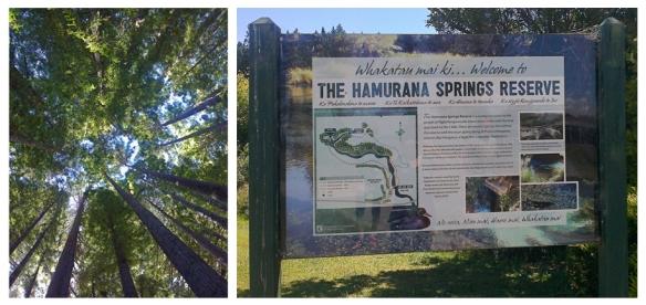 Redwoods – Hamurana Springs Reserve, 2013