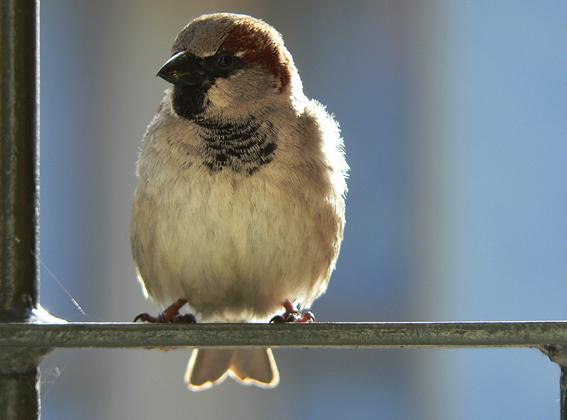 Sparrow – Akaroa, 2012