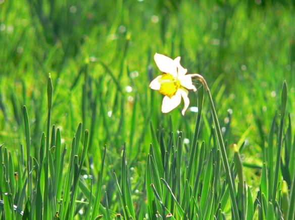 Anna Cull Daffodil
