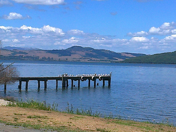 Seagulls at Lake Rotorua, 2013