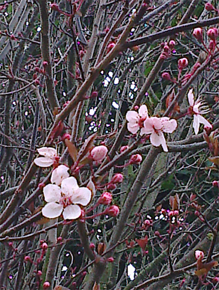 Spring blossoms, original photograph – Christchurch, 2012