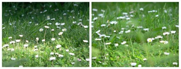 Diptych of daisies, Akaroa, 2009