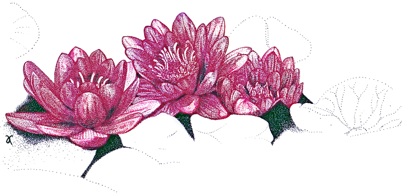 Water lilies – ink drawing and digital colour, 2011