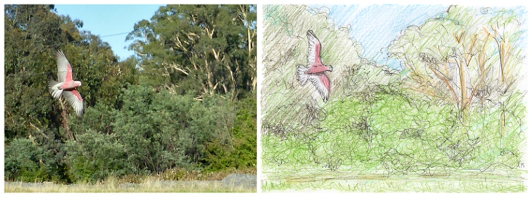 Galah, Australia – original photograph, 2014; Galah, pencil sketch – study for painting, 2015