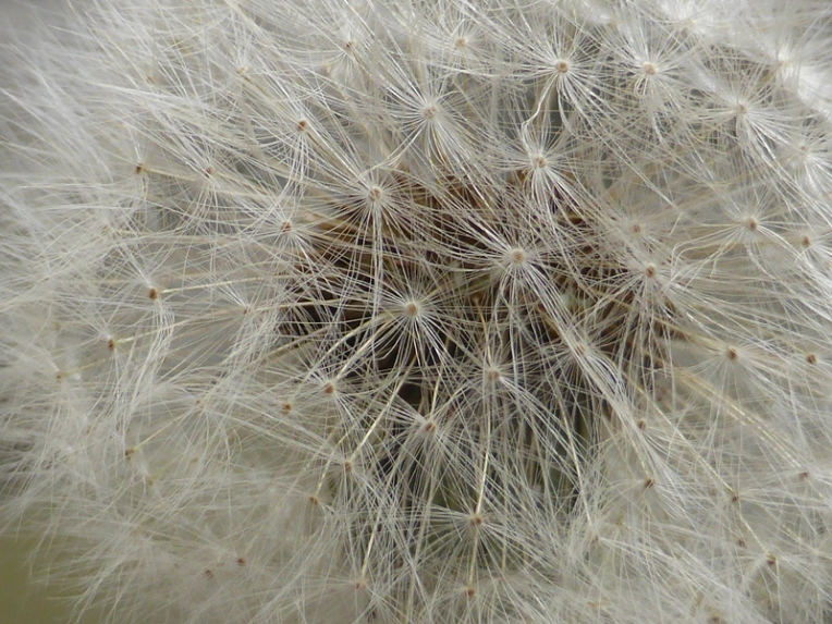 Dandelion reference photograph, 2014