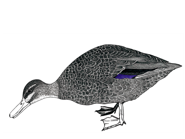 Grey Duck – ink drawing with digital colour, 190 x 375 mm, 2011