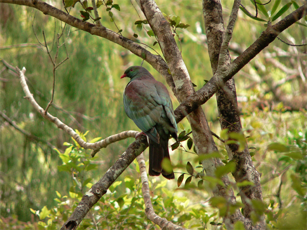 Kererū / New Zealand pigeon, somewhere near Nelson, 2004