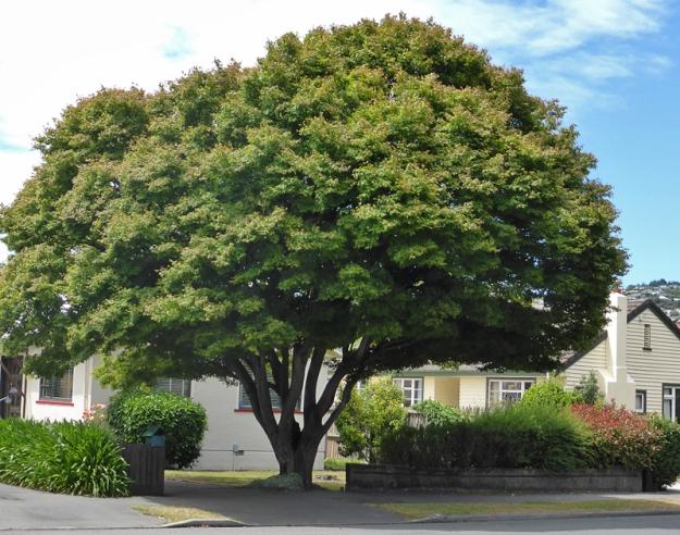 A tree in the neighbourhood, Christchurch ~ original photograph, 2015